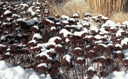 Sedum Autumn Joy Herbstfreude in winter snow with grasses & Rudbeckia seed-heads